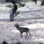 La berrea del ciervo en Sierra Morena